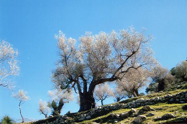 Olivenbaum Alaro auf Mallorca
