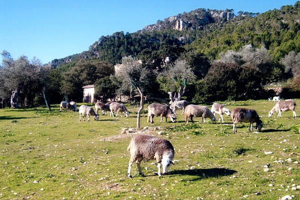 Schafe und Ziegen im Tramuntana Gebirge auf Mallorca