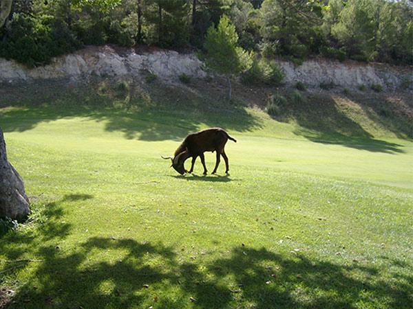 Während der Golfer auf dem Golfplatz Son Termes das Rough zu vermeiden sucht, schätzen es die halbwilden Ziegen sehr.