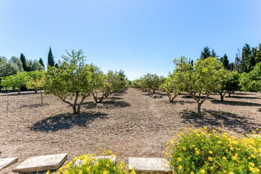 Zitronenbäume des Anwesens