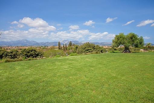 Bergblick hinweg über das Grün und des majestätischen Olivenbaums