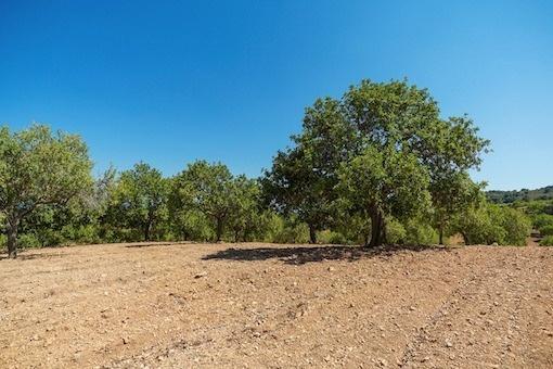 Weitläugiges Grundstück mit Johannisbrotbäumen