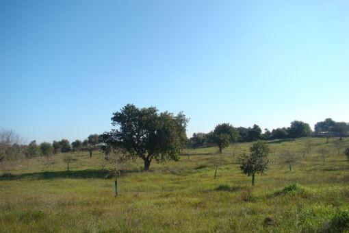 Großes Baugrundstück in der Nähe von Sant Lorenc des Cardassar