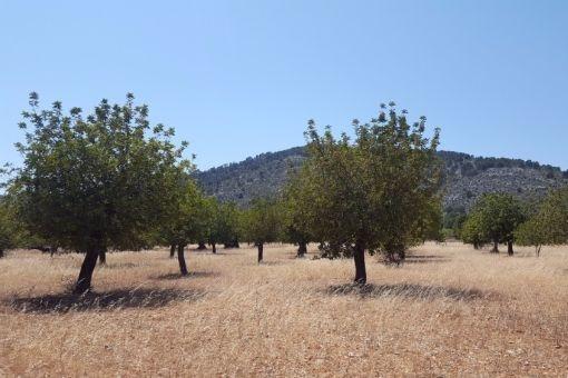 Einer der letzten exklusive Grundstücke zur Bebauung am Fuße der Tramutana bei Alaró