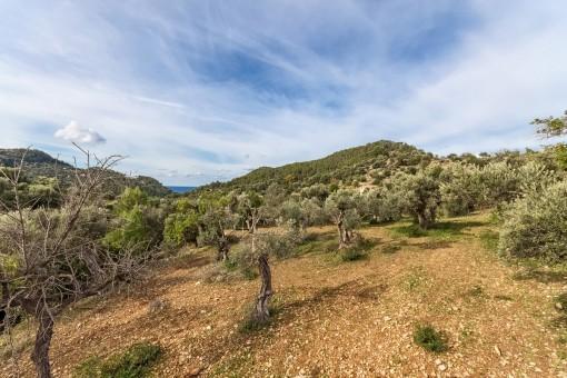 Typisch mallorquinische Olivenbäume