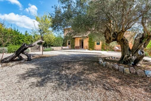 Vorgarten mit Olivenbäumen