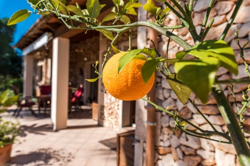 Zitronenbäume verzaubern die Umgebung