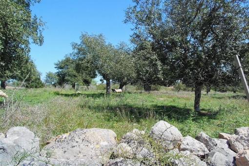 Grundstück in einem schönen Fincagebiet in Sant Llorenc des Cardassar