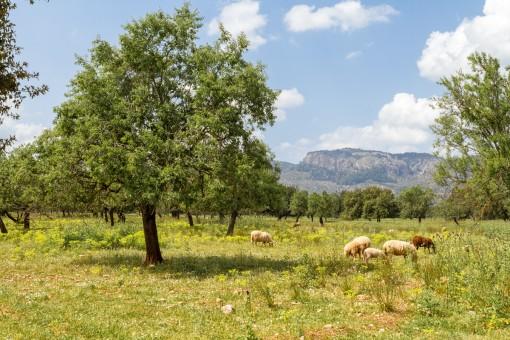 Herrlich schönes Grundstück am Fuße des Tramuntanagebirges