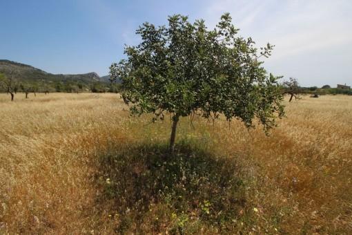 Das Grundstück hat zahlreiche Mandel- und Johannisbrotbäume