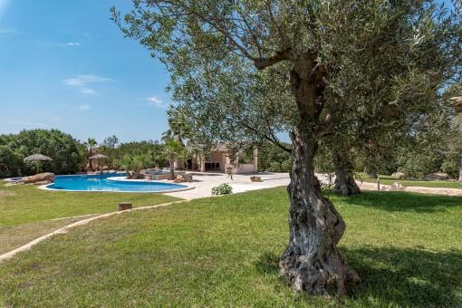Herrlicher Garten mit Olivenbäumen