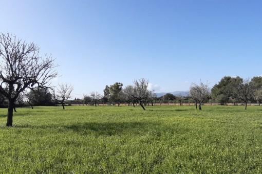 Grundstück mit Tramuntanablick mit gütliger Baulizenz in Binissalem