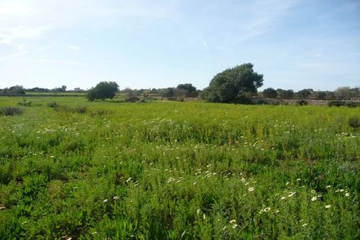 Wunderschönes Grundstück mit Projekt und Baugenehmigung nahe Santanyi