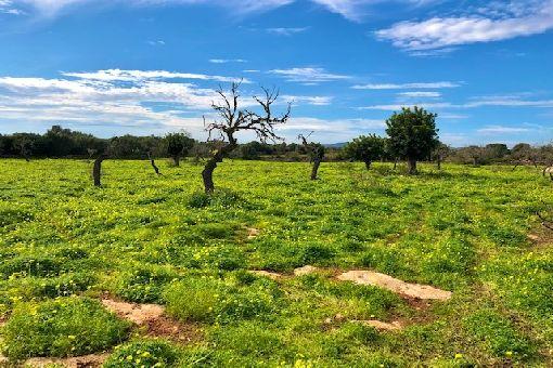 Grundstück zwischen Sa Coma und Son Carrio mit Bauprojekt und gültiger Baugenehmigung