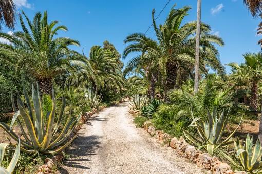 Bezaubernde Palmen-Allee Zufahrt