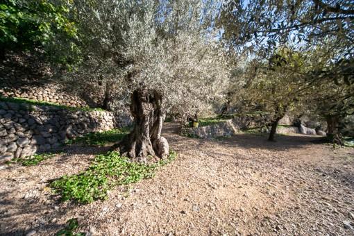 Grundstück mit Olivenbäumen