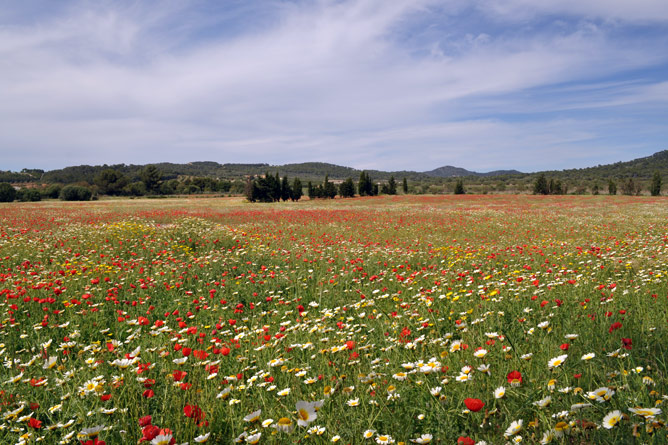 Flower meadow in the southeast of Mallorca